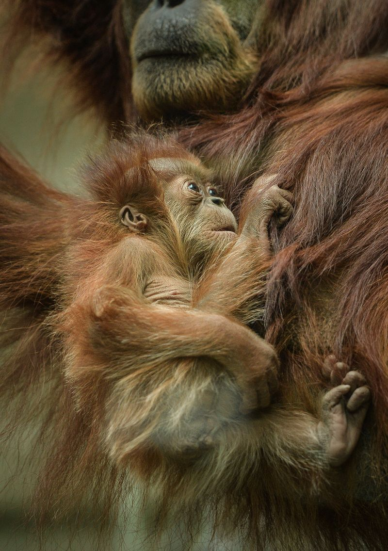 2_Siska the baby orangutan clings to mum Subis at Chester Zoo (1)