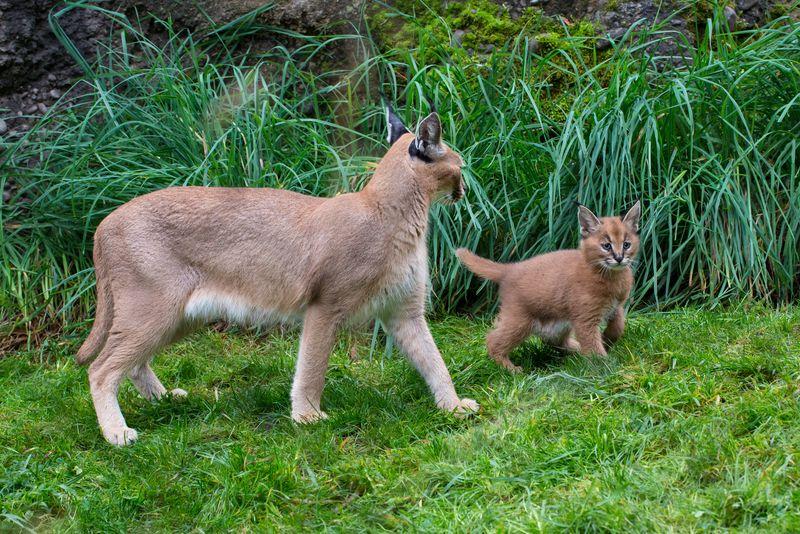 4_Oregon Caracal kittens