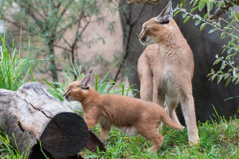 10_Oregon Caracal kittens