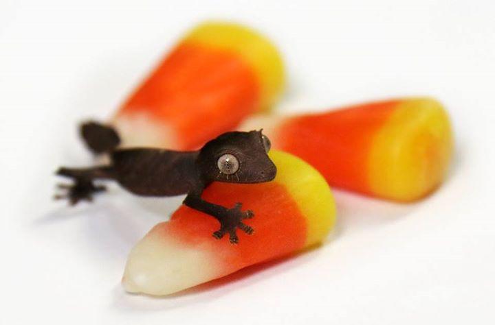 Gecko dallas