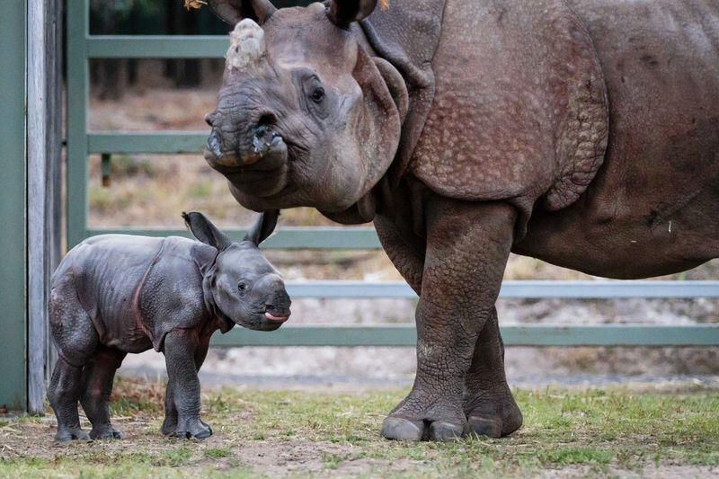 Greater One horned Rhino calf_Photo by Bobby-Jo Clow_1