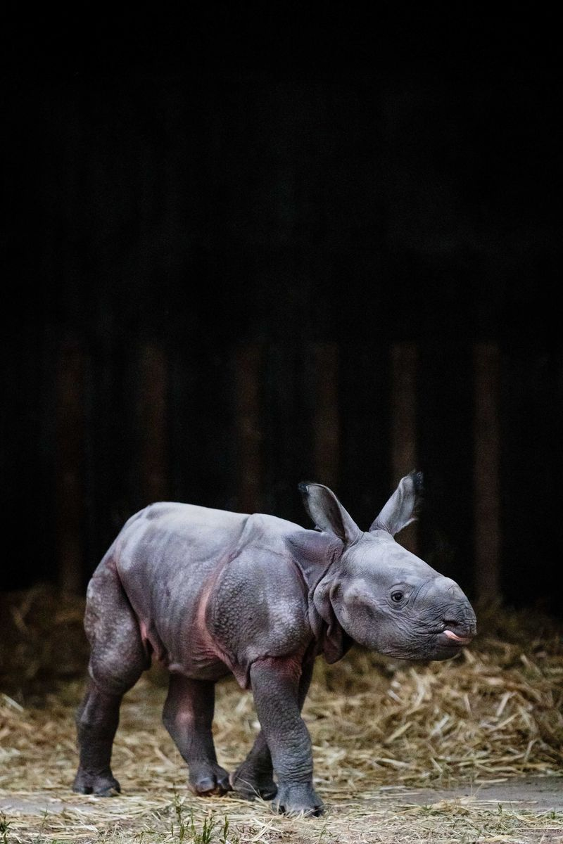 Greater One horned Rhino calf_Photo by Bobby-Jo Clow_2