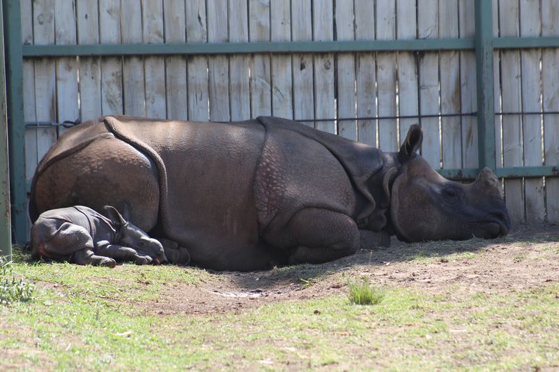 Greater One horner Rhino calf with mother Amala_Photo by Ian Anderson