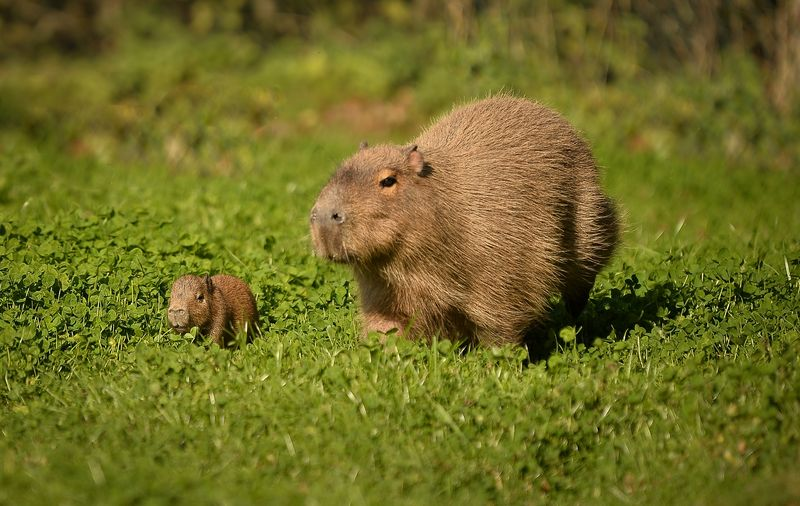 2_A baby capybara is accompanied by its mother as they explore their enclosure at Chester Zoo (1)