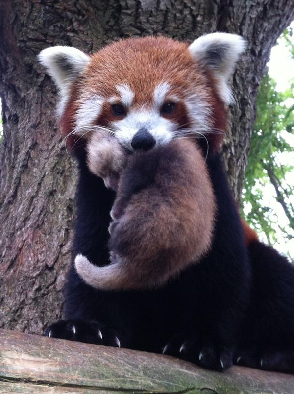 Reluctant Red Panda Gets The Perfect Name Zooborns