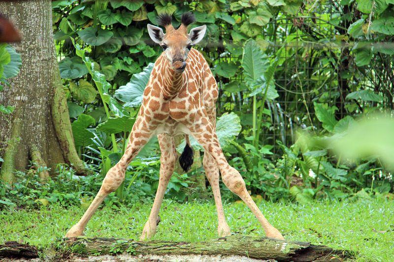 2_SZ Image 11_Giraffe calf_WRS