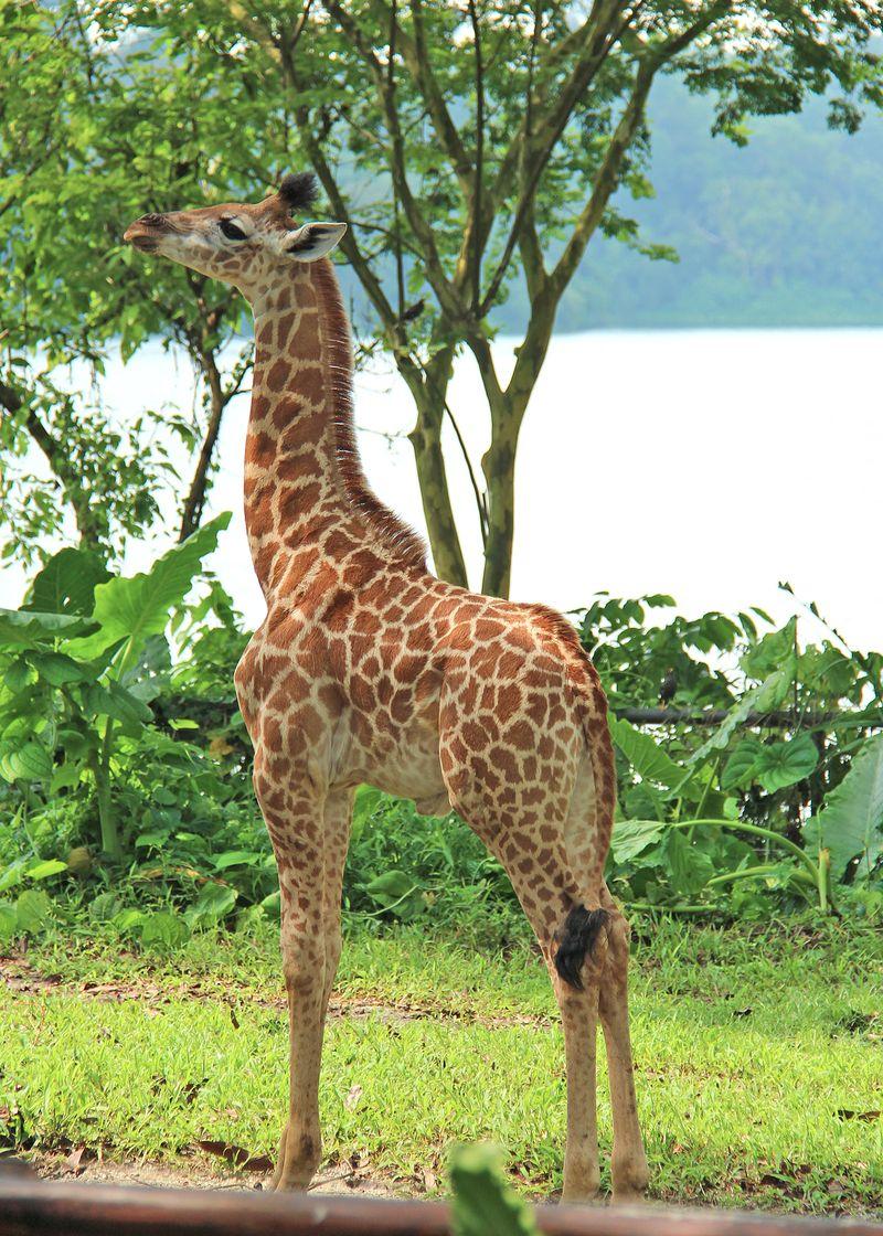 4_SZ Image 14_Giraffe calf_WRS