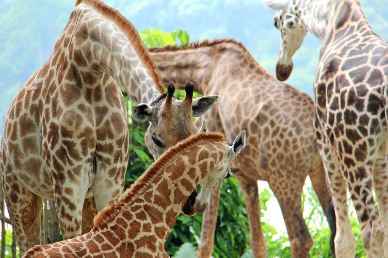 9_SZ Image 15_Giraffe calf_WRS