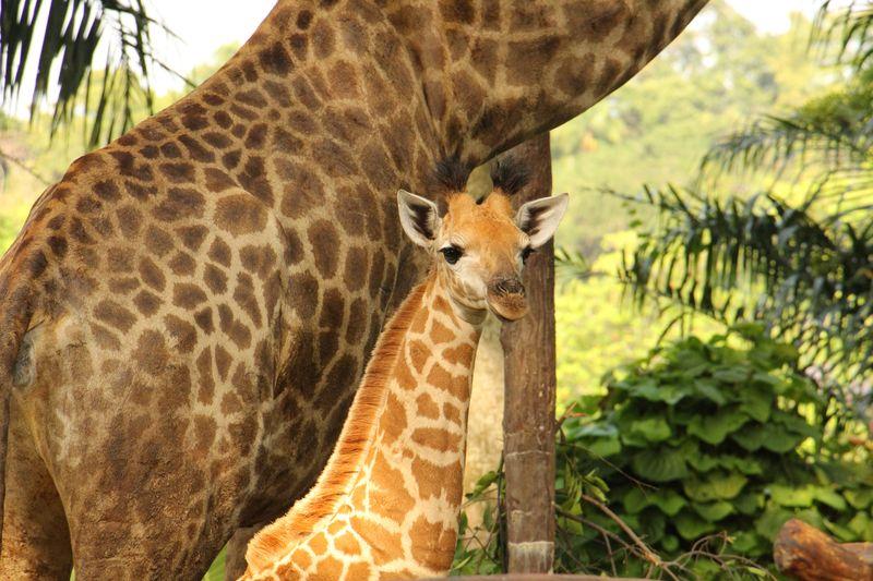 11_SZ Image 1_ Giraffe calf_WRS