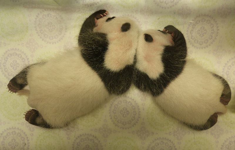 Toronto-Zoo-Giant-Panda-Cubs-at-One-Month(1)