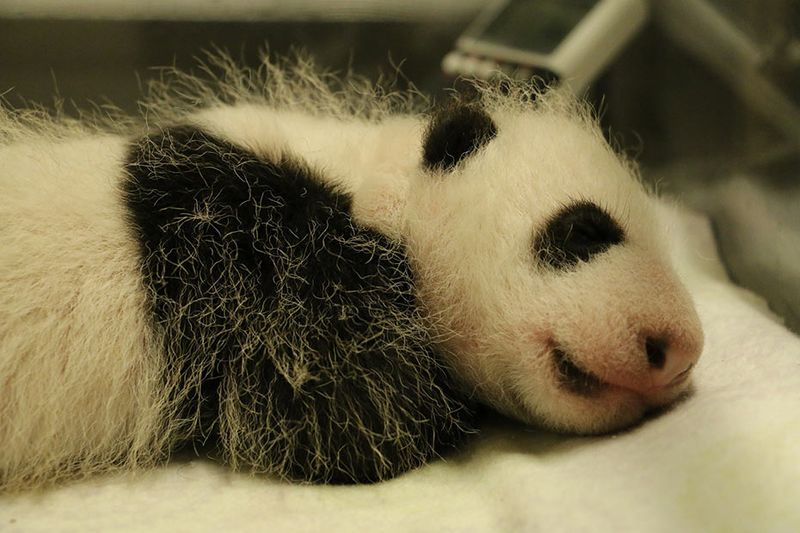 Toronto-Zoo-Giant-Panda-Cub-at-One-Month(1)