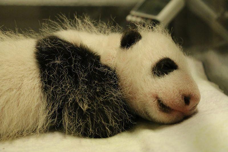 Toronto-Zoo-Giant-Panda-Cub-at-One-Month(1)