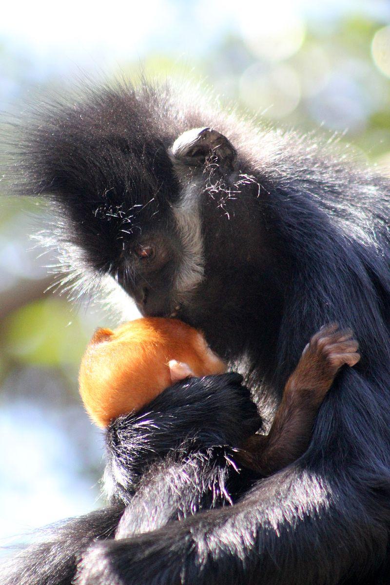 Baby Langur (39)