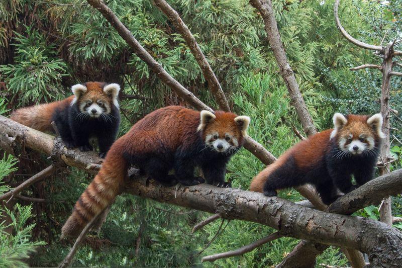 1_Julie Larsen Maher_2538_Styans Red Panda_DIST_PPZ_11 02 15_hr