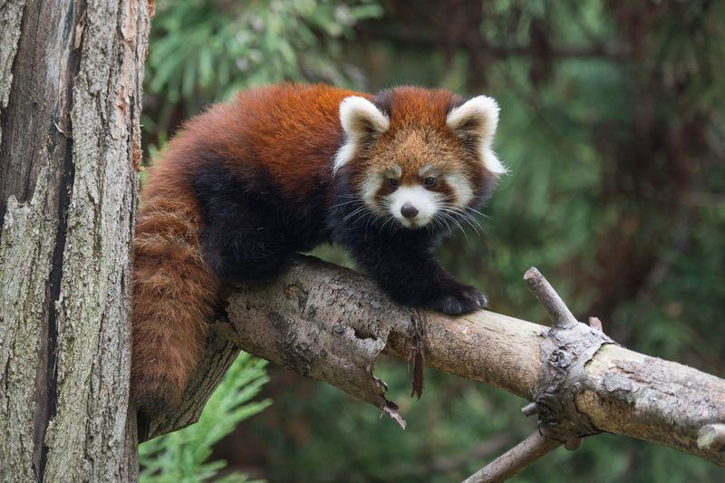2_Julie Larsen Maher_2571_Styans Red Panda_DIST_PPZ_11 02 15_hr