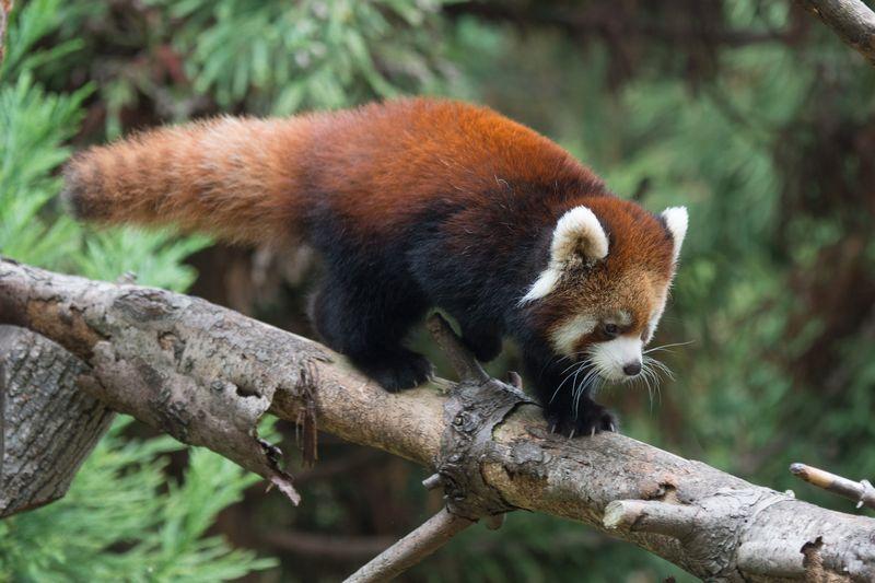 3_Julie Larsen Maher_2550_Styans Red Panda_DIST_PPZ_11 02 15_hr