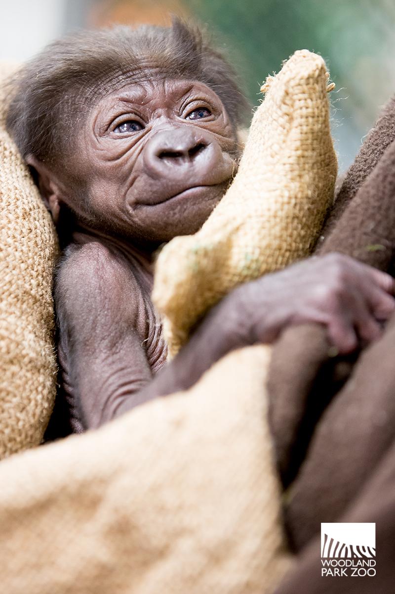 2_15_12_2 Gorilla Baby JDL-1