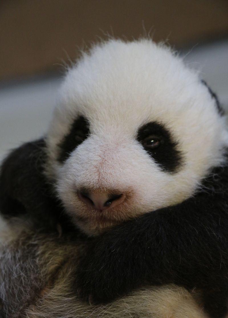 Image 28 - Toronto Zoo Giant Panda Cubs at 8 weeks