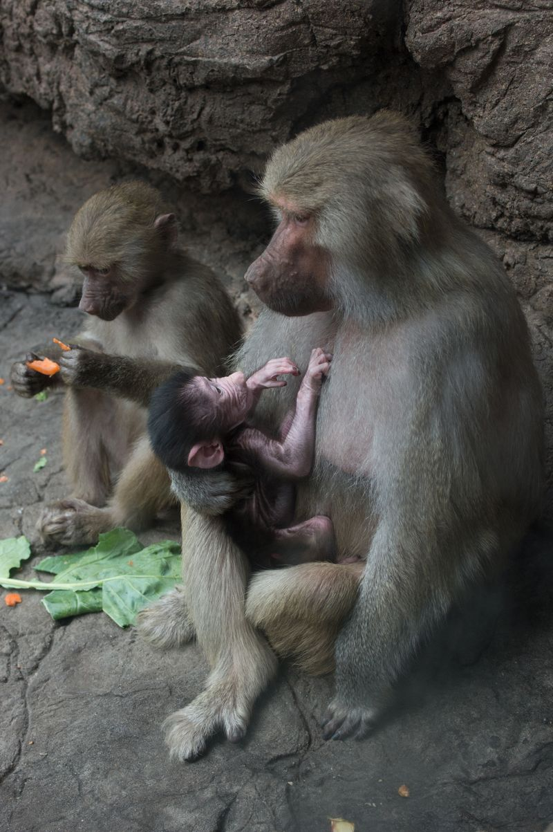 Julie Larsen Maher_2615_Hamadryas Baboons and Baby_PPZ_11 02 15