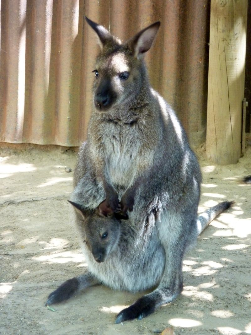 4_Wallaby baby2