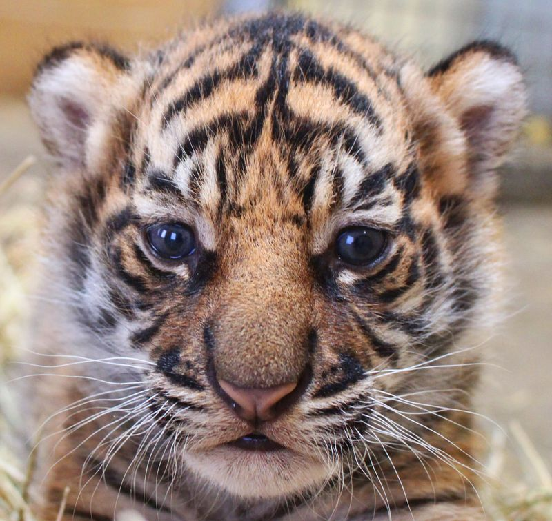2_Tiger Cub close up - Credit to Janel Jankowski