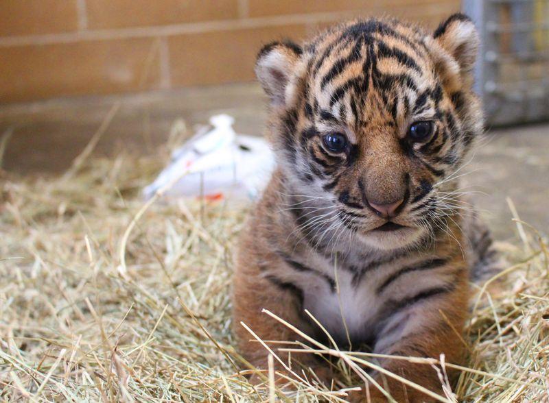 3_Tiger Cub 1 - Credit to Janel Jankowski