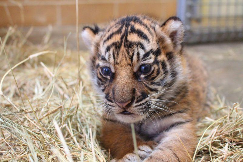 4_Tiger Cub 2 - Credit to Janel Jankowski