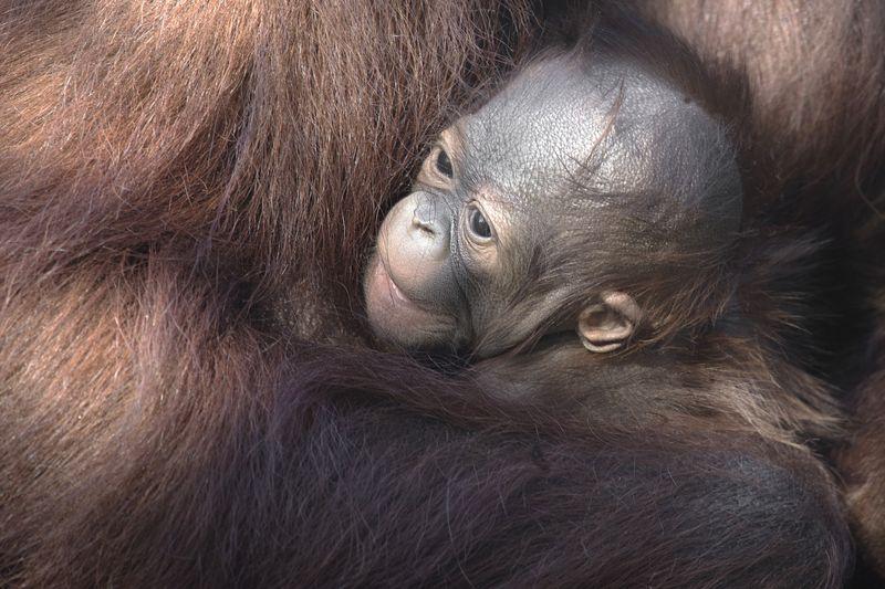 2_primates orang baby gojo 1 dec 26 2015 by Dave Parkinson