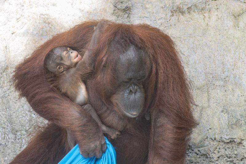 6_primates orang josie baby 2 dec 22 2015 by Dave Parkinson