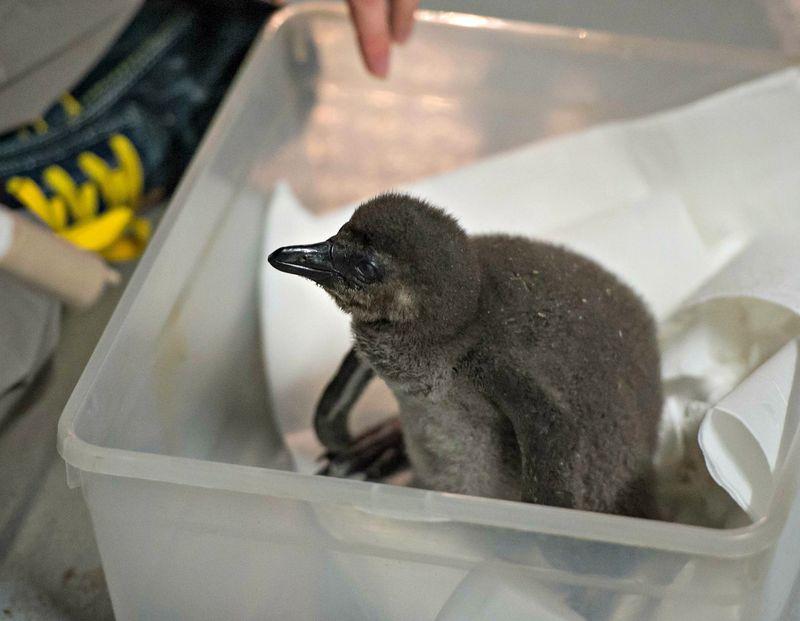 Pingwin przyl_dkowy 2