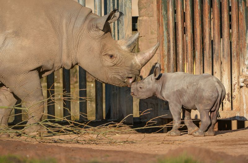 2_One-week-old Eastern black rhino calf, Gabe, steps out into the sunshine on his public debut (27)
