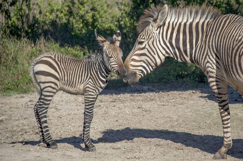 1_Africa Hartmann's mountain zebras Roxie and foal 3 jan 18 2016