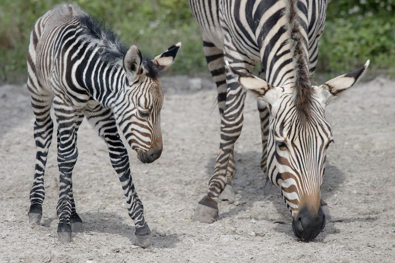 2_Africa Hartmann's mountain zebras Roxie (mom) and foal 2 jan 19 2016