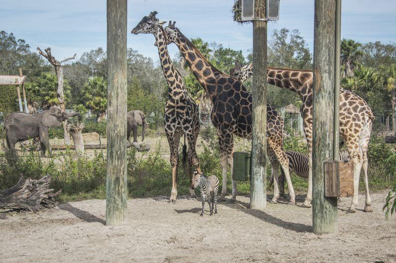 4_Africa Hartmann's mountain zebra foal with giraffes jan 21 2016