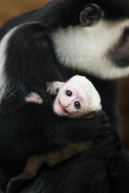 Baby_colobus_monkey_with_big_sister_1-17-16_credit_Ethan_Riepl_Saint_Louis_Zoo_123315_web