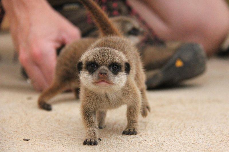Meerkat Pups_Photo by Paul Fahy (8)