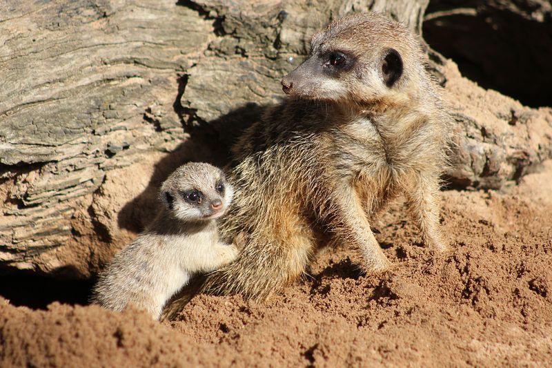 Meerkat Pups_Photo by Paul Fahy (22)