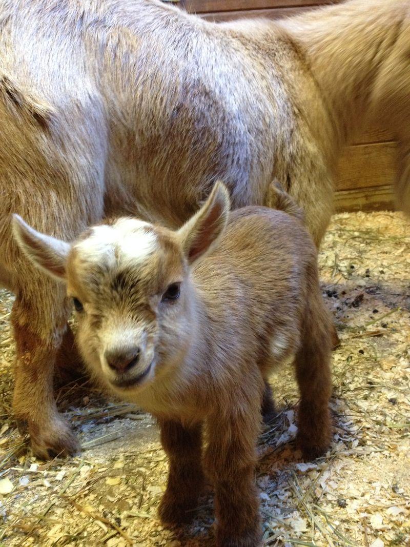 2_baby goat 2