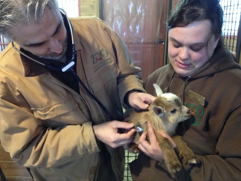 11_Dr. Eric Baitchman, Zoo New England Director of Veterinary Services, examines the kid held by Melissa Durham, Senior Zookeeper (2)