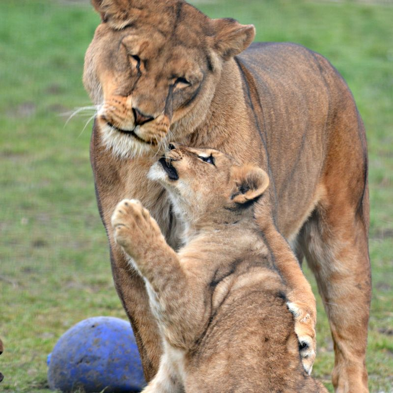 African Lion cubs with mum Safina at Linton Zoo, photo by Michelle Aylott (8)