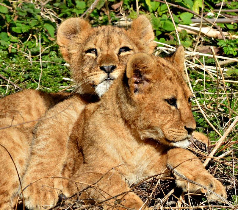 Sleepy lion cubs cuddle time cc