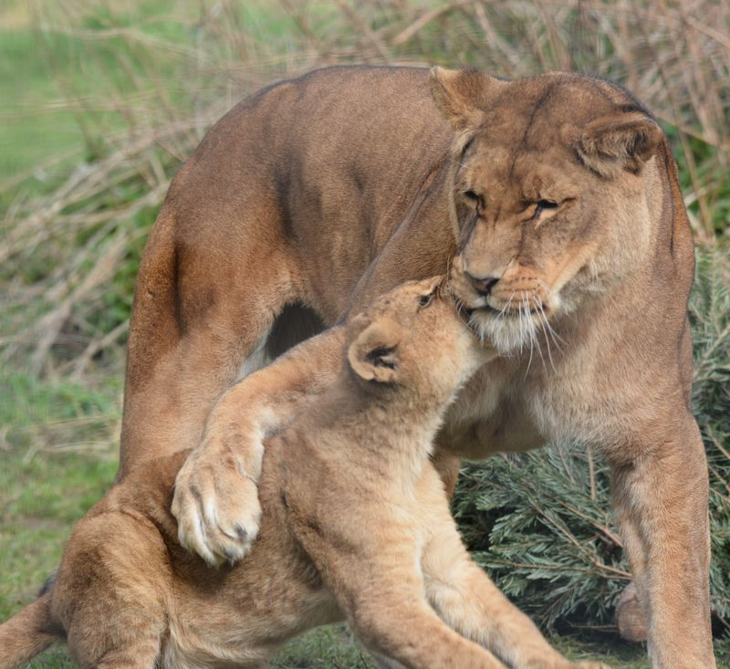 African Lion cubs with mum Safina at Linton Zoo, photo by Michelle Aylott (3)
