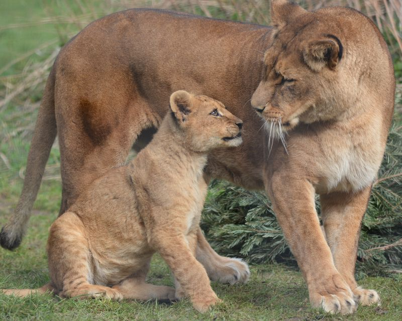 African Lion cubs with mum Safina at Linton Zoo, photo by Michelle Aylott (2)