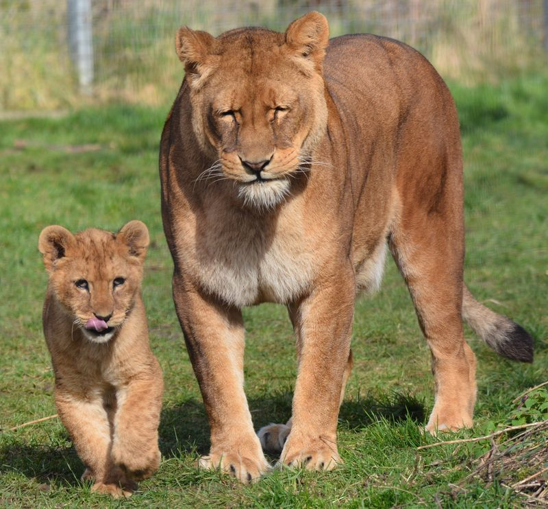 African Lion cubs with mum Safina at Linton Zoo, photo by Michelle Aylott (9)