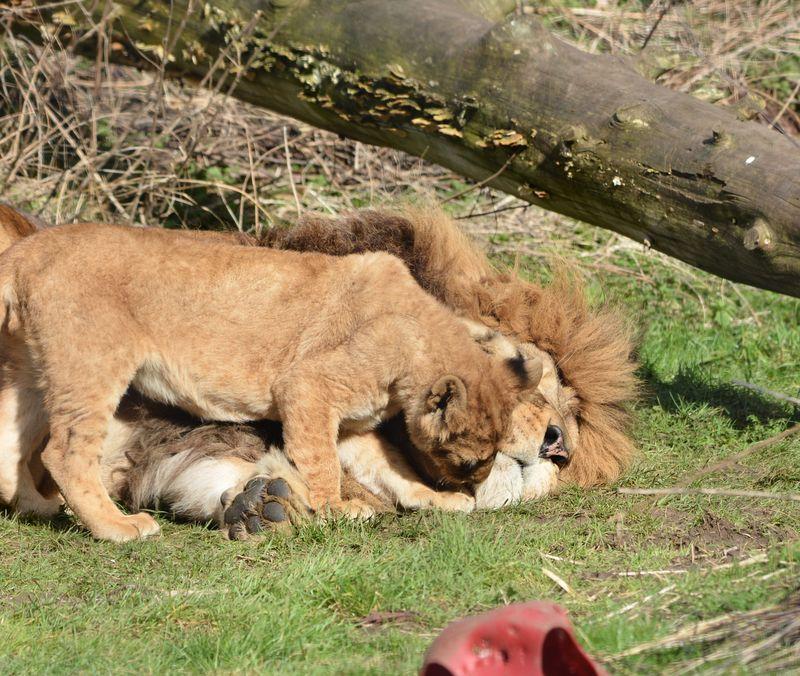 Zuri trying to sleep and cub cc