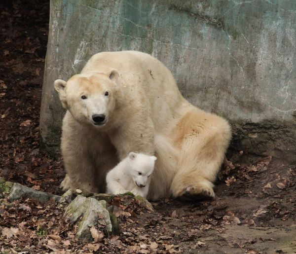 Zoo Brno S Polar Bear Cub Sticks Close To Mom Zooborns
