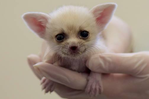 National Zoo S Fennec Fox Kits Have Names Zooborns