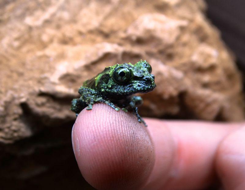 2_Mossy Froglet side view