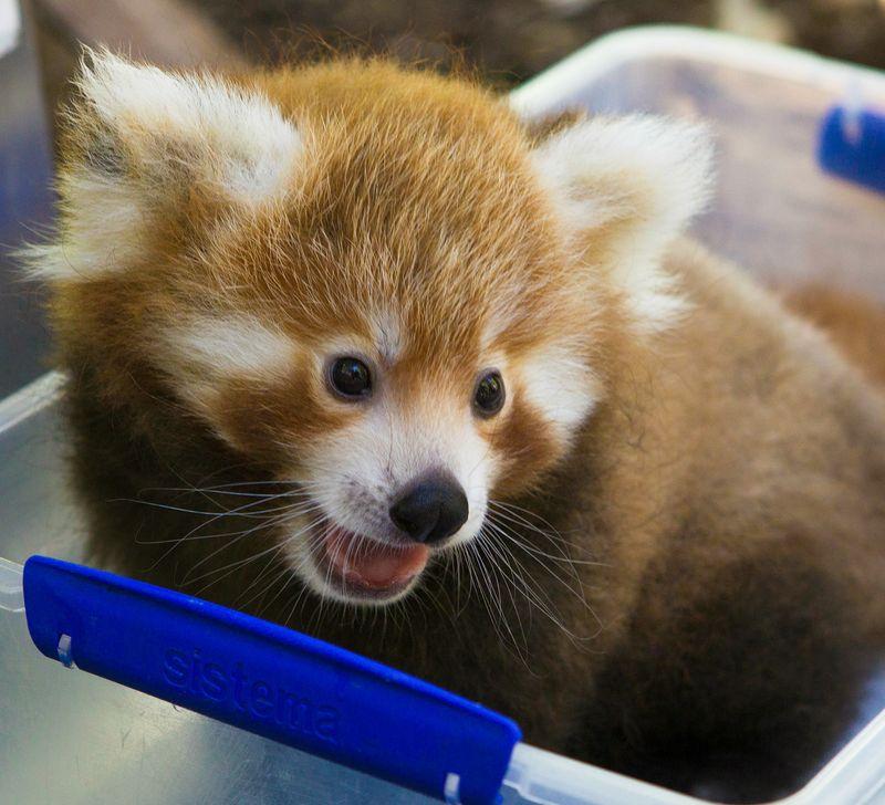 Panda-cubs-3