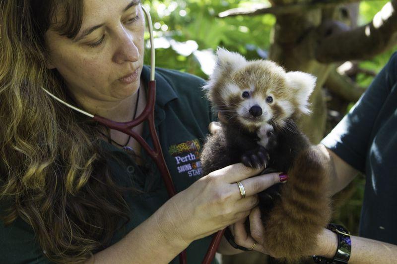 Panda-cubs-8